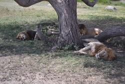 Africa lions under tree